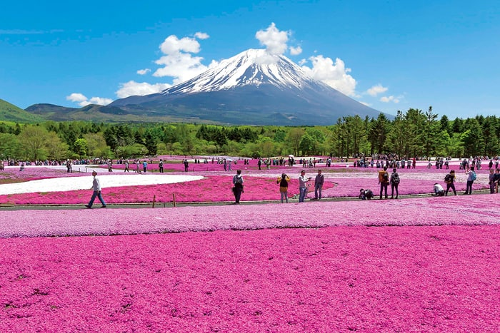 see mount fuji during shibazakura